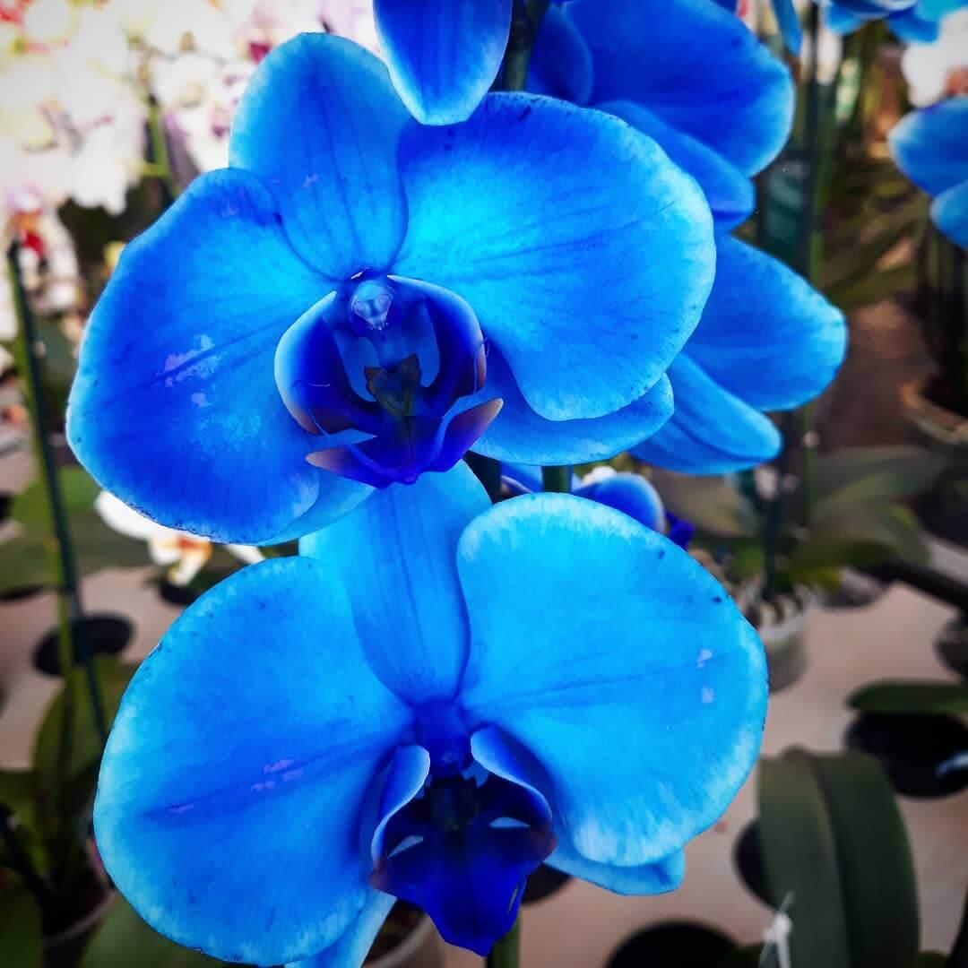 Orquídea Azul: Como Cultivar e Usar na Decoração
