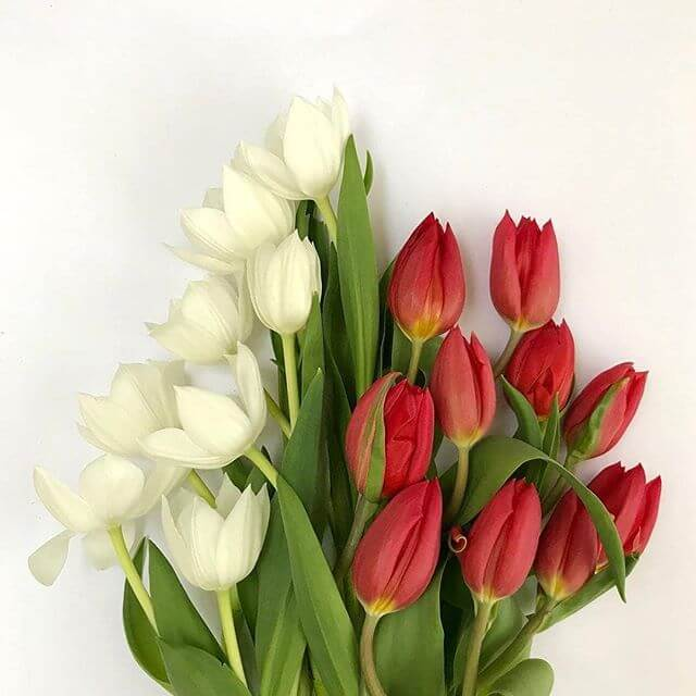 Tulipa: Dicas de Como Cultivar e Caraterísticas