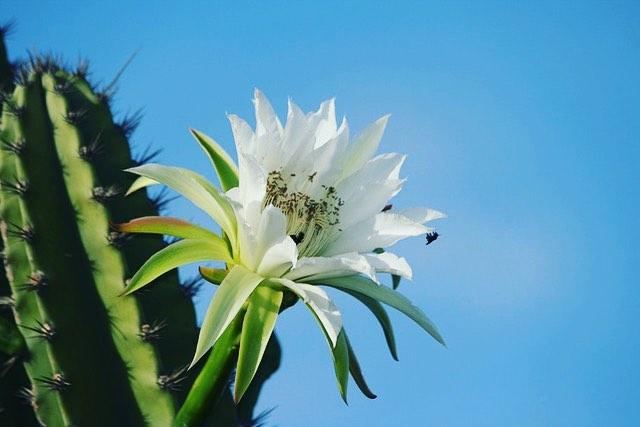 azaleia branca flor