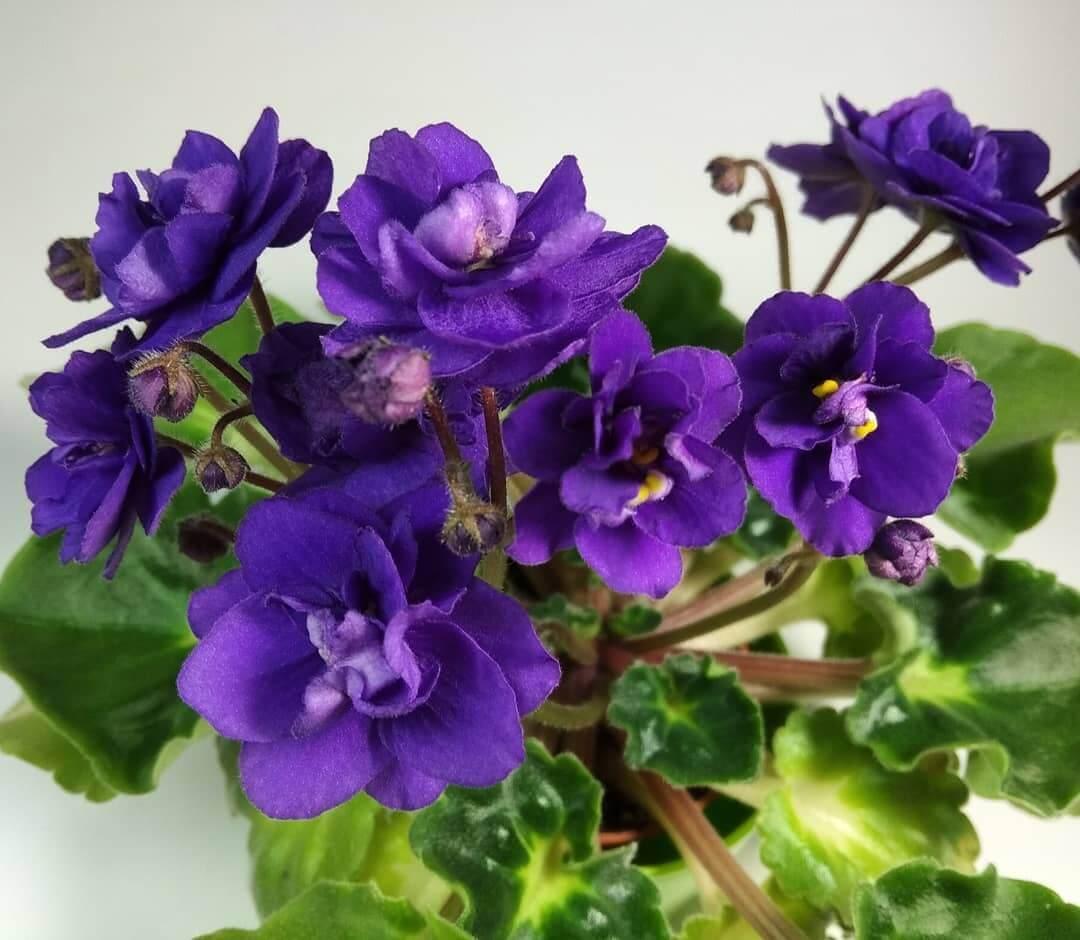 Violeta: Cuidados, Como Cultivar e adubação