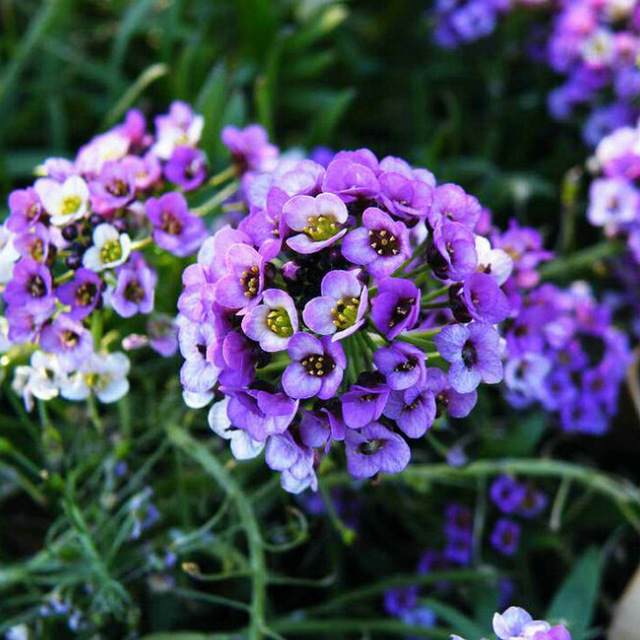 alisso violeta
