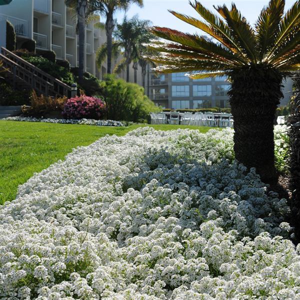 alisso branco em jardim