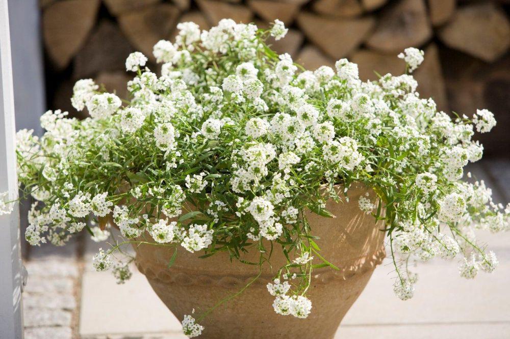 alissos brancos em vaso