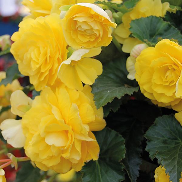 begônias amarelas