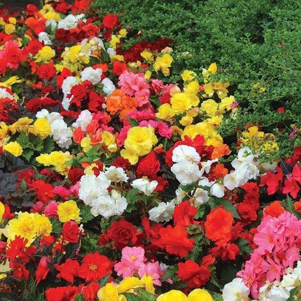 begônias coloridas em jardim