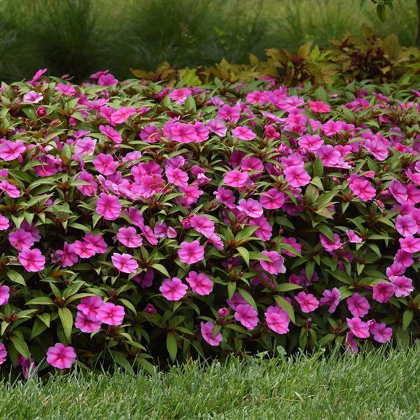 beijo-pintado rosa em jardim
