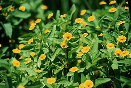 botões-de-ouro em jardim