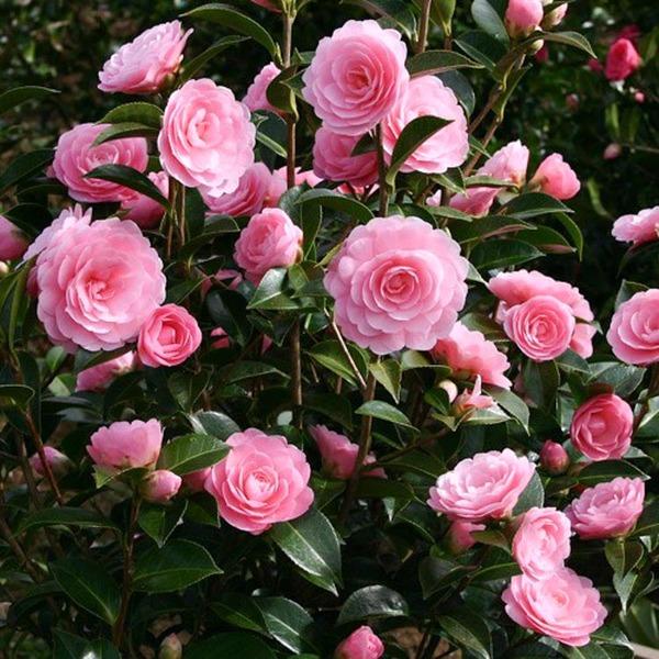 camélias rosas em jardim