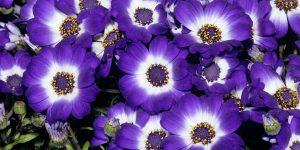 cinerárias púrpuras