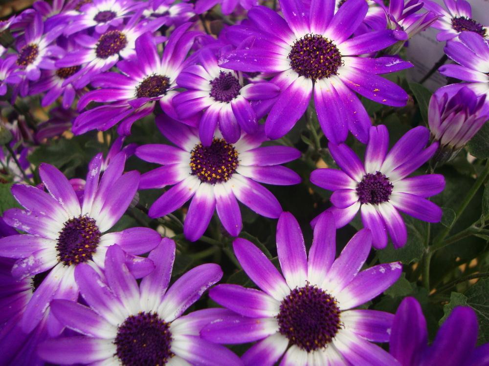 cinerárias violetas