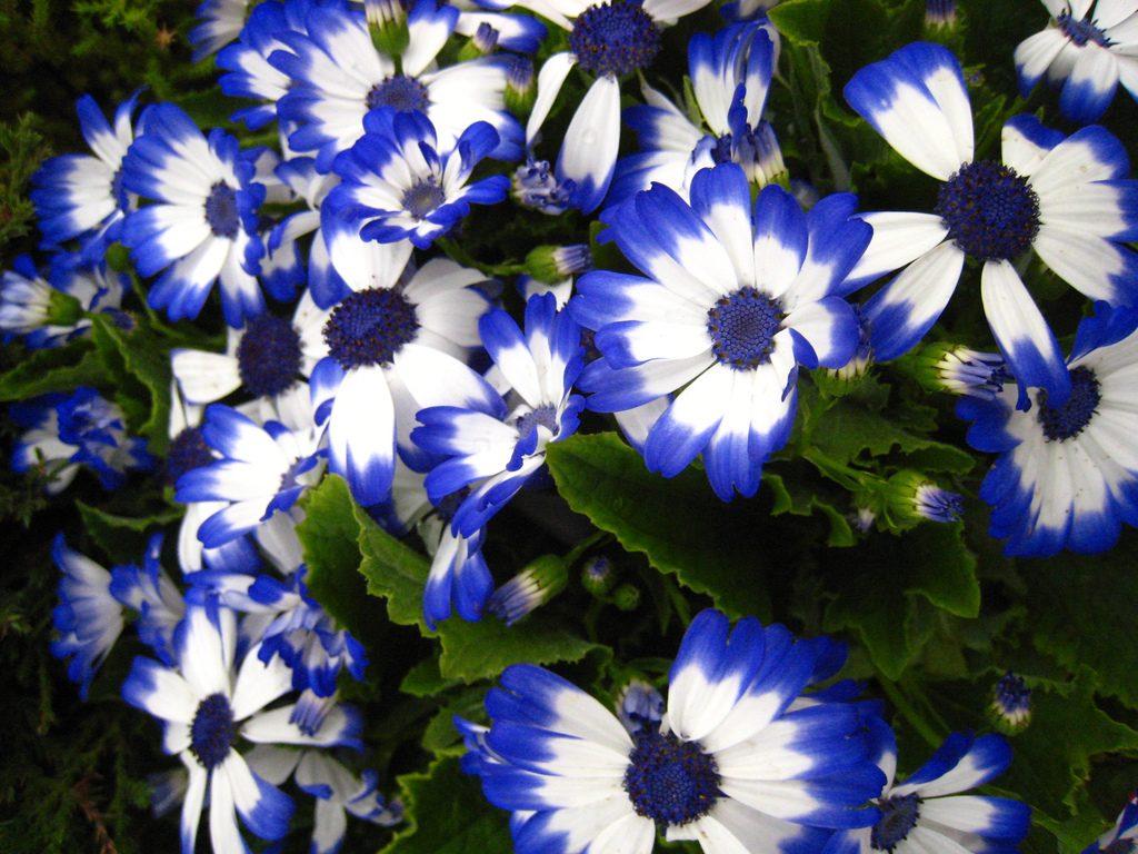 cinerárias azuis