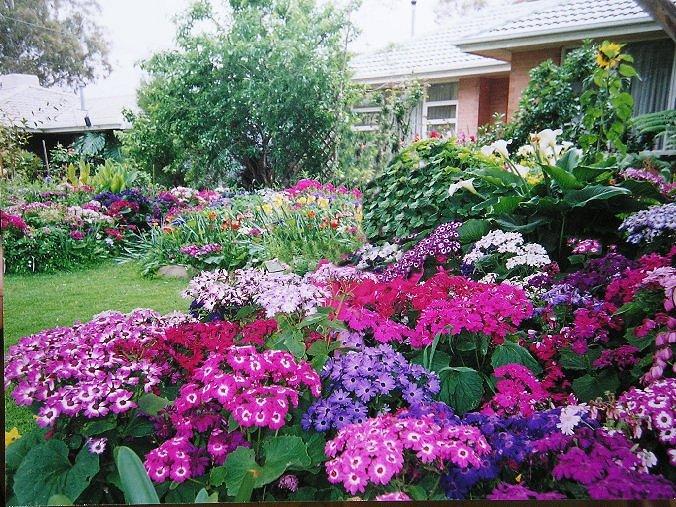 cinerárias em jardim