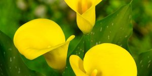 copos-de-leite amarelos