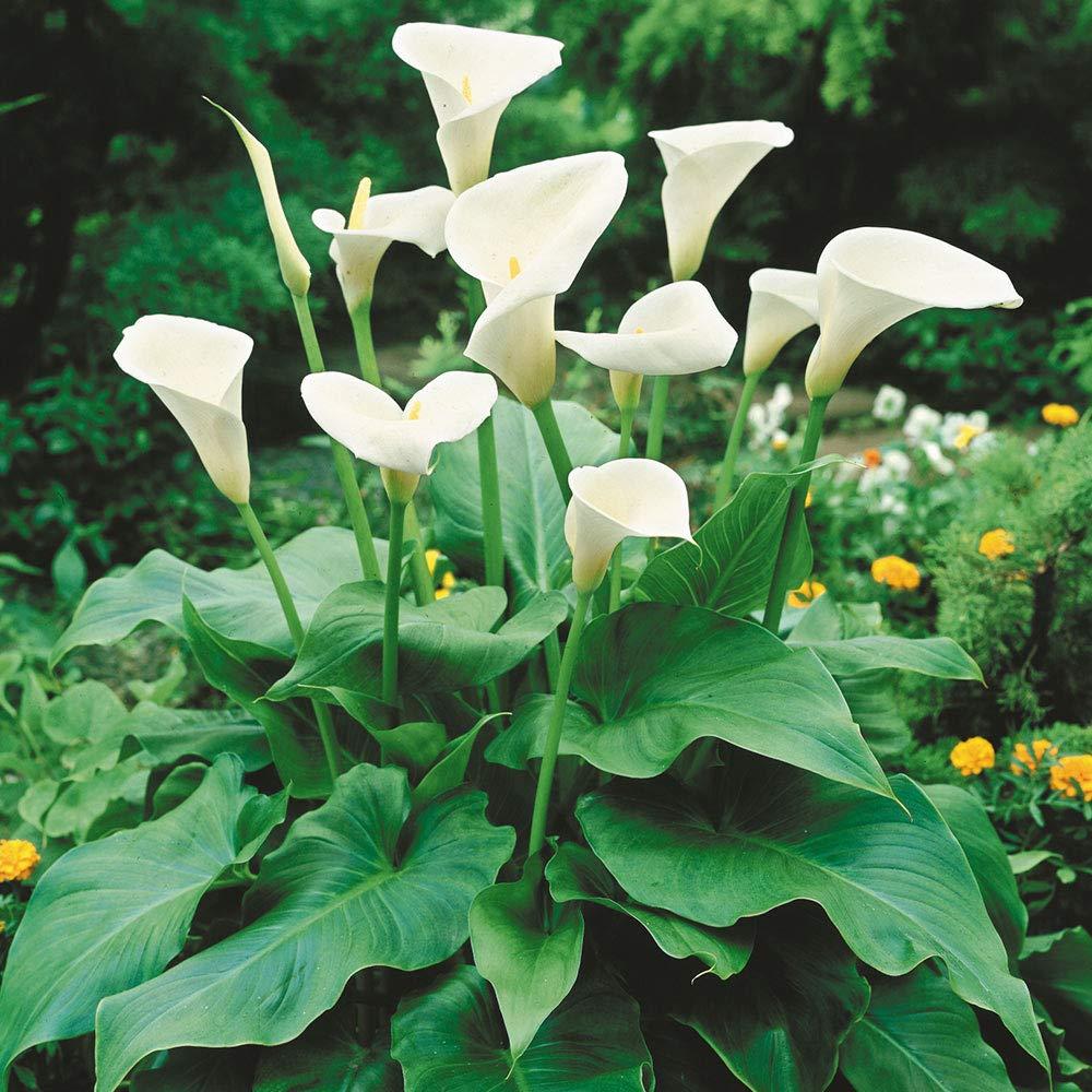 copos-de-leite brancos em jardim