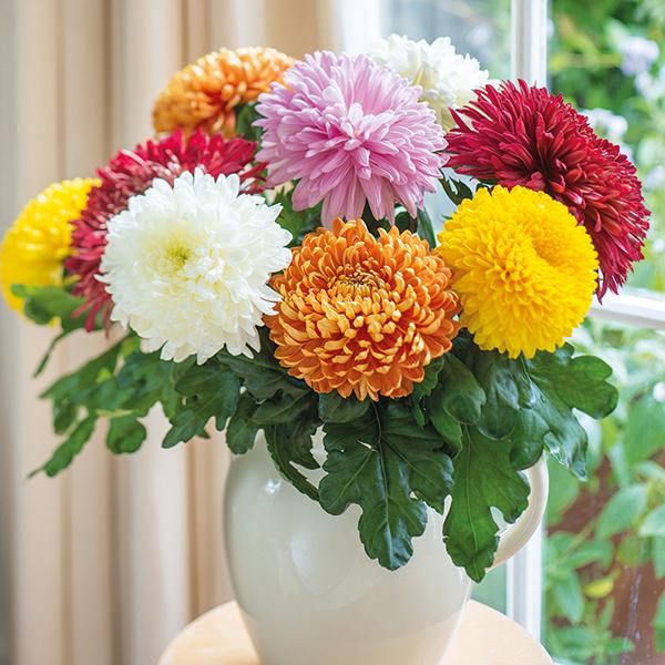 crisântemos coloridos em vaso
