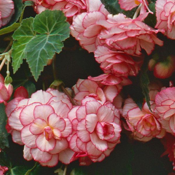 begônias rosas