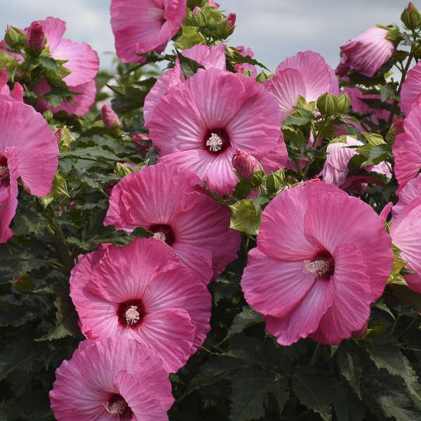 hibiscos rosas