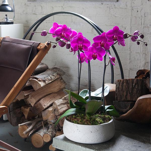 orquídea rosa em vaso