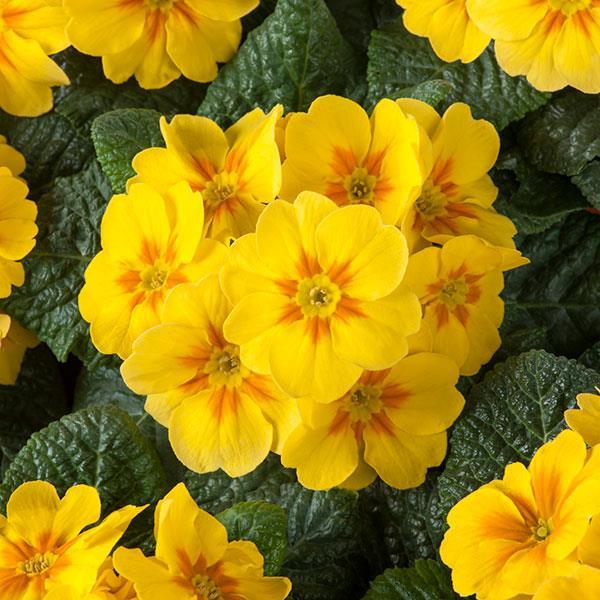 prímulas amarelas