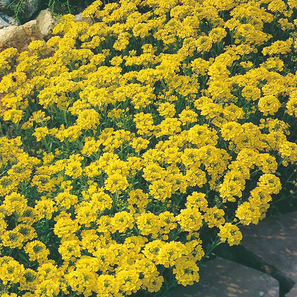 alissos amarelos em jardim