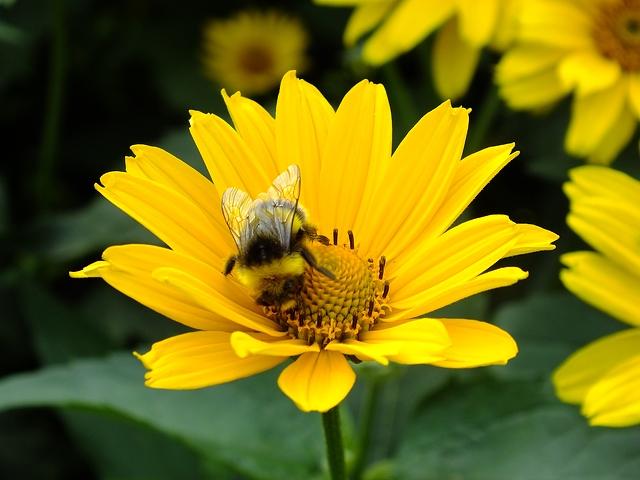 abelha sobre margarida amarela