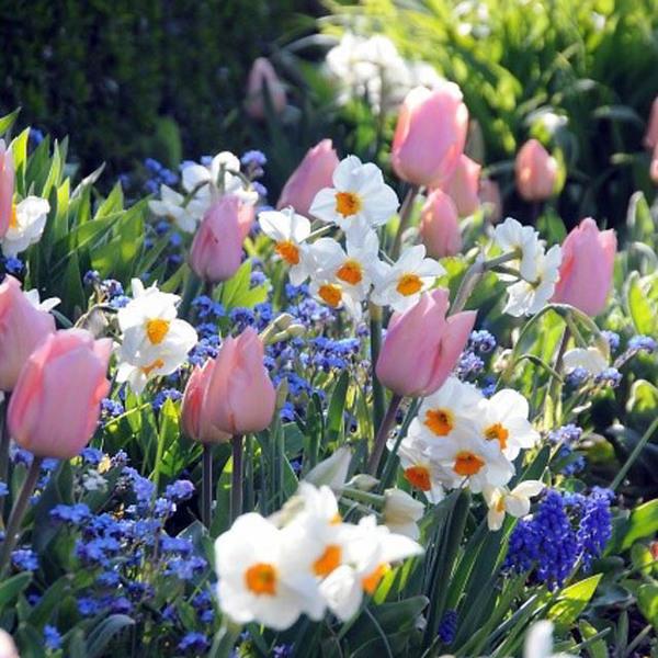 narcisos brancos e tulipas em jardim