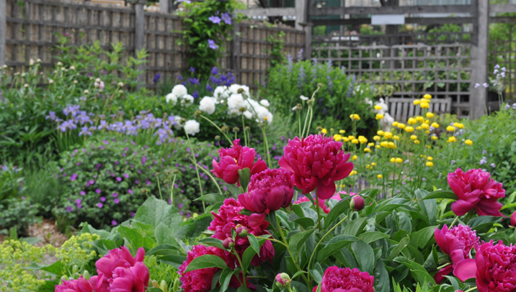 peônias em jardim
