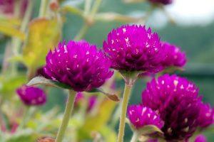 flores de perpétua
