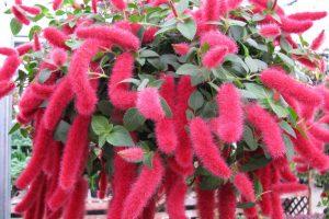 flores de rabo-de-gato