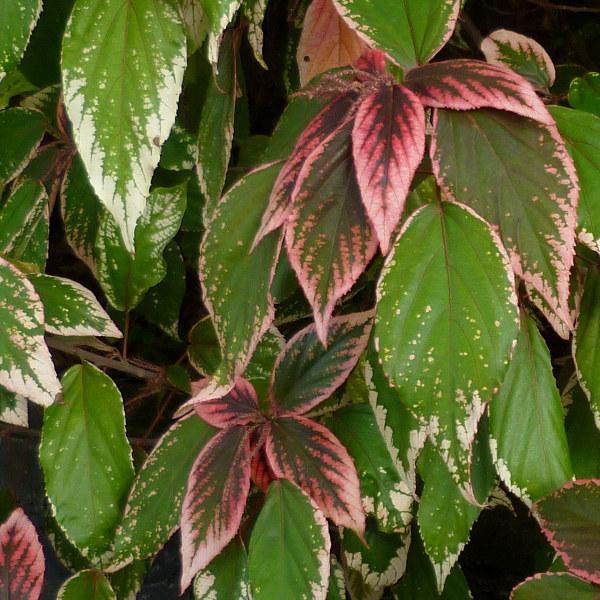folhas de rabo-de-gato
