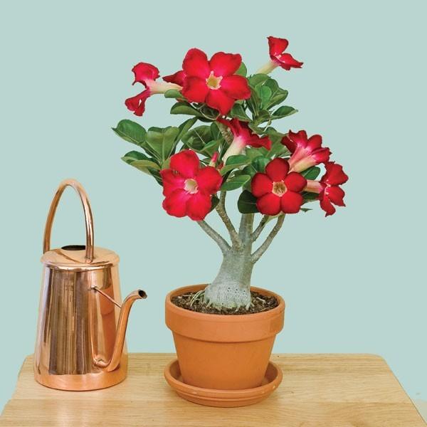 rosa-do-deserto em vaso e regador