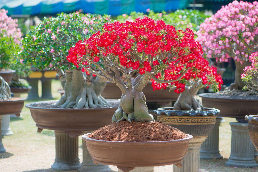 rosa-do-deserto vermelha em primeiro plano