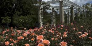rosas laranjas em jardim