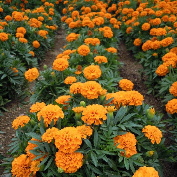 tagetes laranjas em jardim