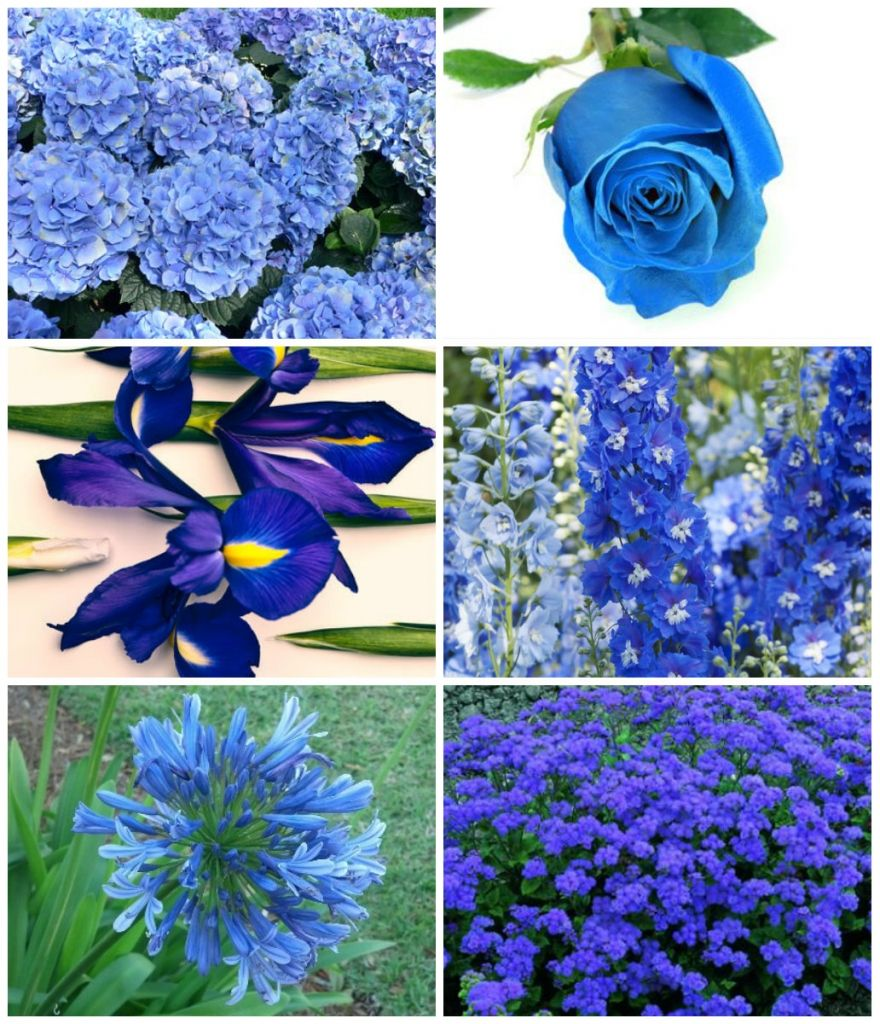 Tipos de flores azuis