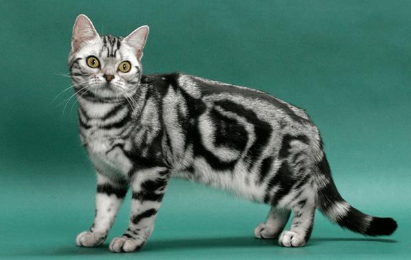 As 10 Melhores Raças de Gatos Para Crianças: Veja Aqui!