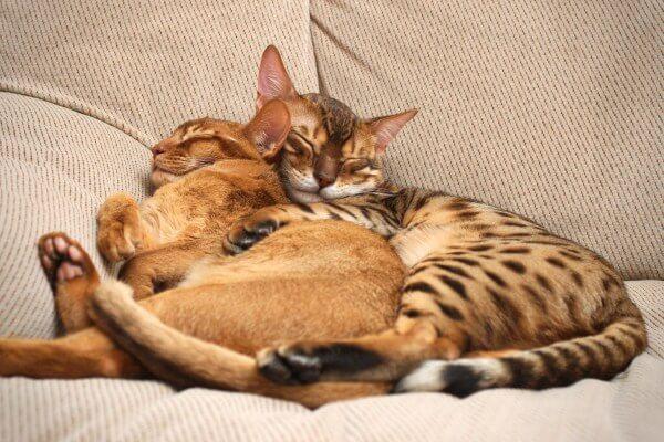 Como acostumar dois gatos juntos? Aprenda aqui!