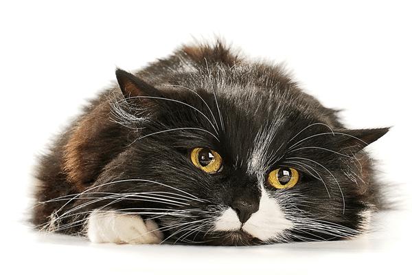 10 sinais de câncer em gatos: como saber, tratamento e cuidados