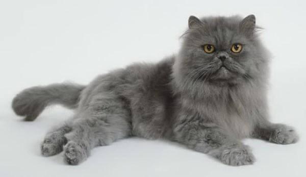 Gato Persa: história, cuidados, temperamento, características e mais!