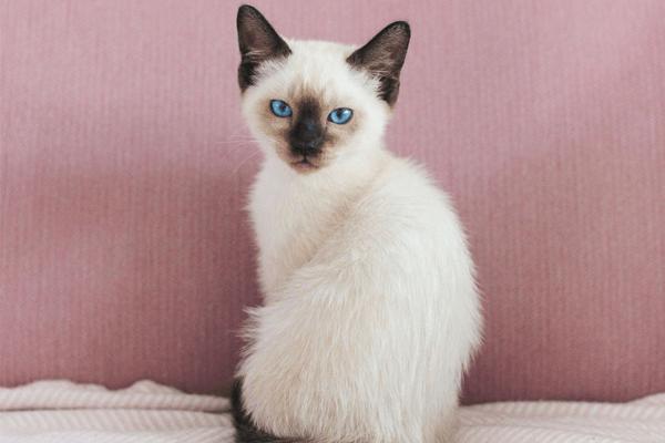 Gato Siamês: história, cuidados, temperamento, características e mais!