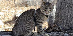 American Bobtail Shorthair - Raça de Gato