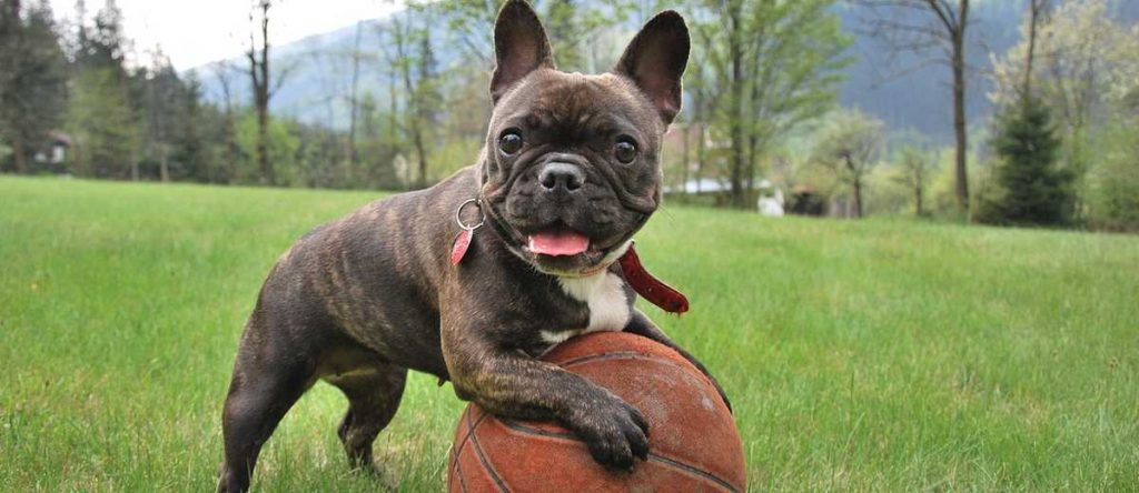 bulldog francês com bola de basquete