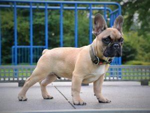 bulldog francês no parque