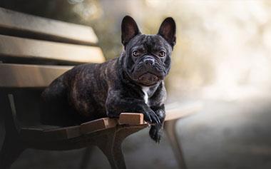 bulldog francês sentado no banco