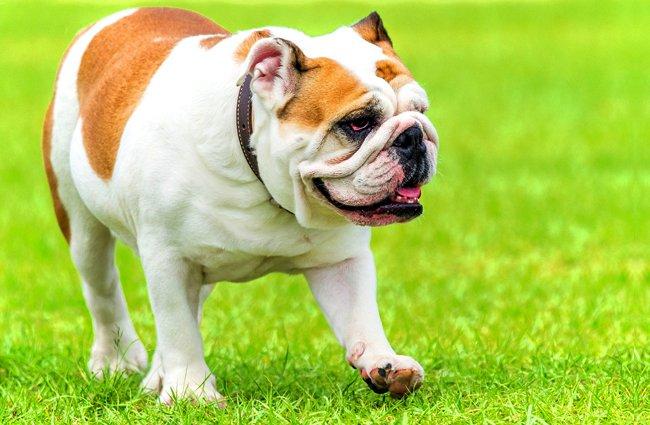 bulldog inglês andando na grama