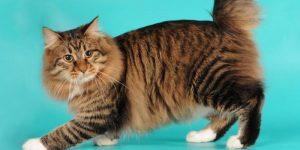 Raça de Gato - American Bobtail Longhair