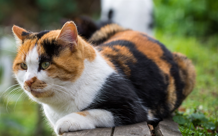 Raça de gato - American Wirehair