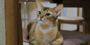 Gato Abyssinian olhando para cima