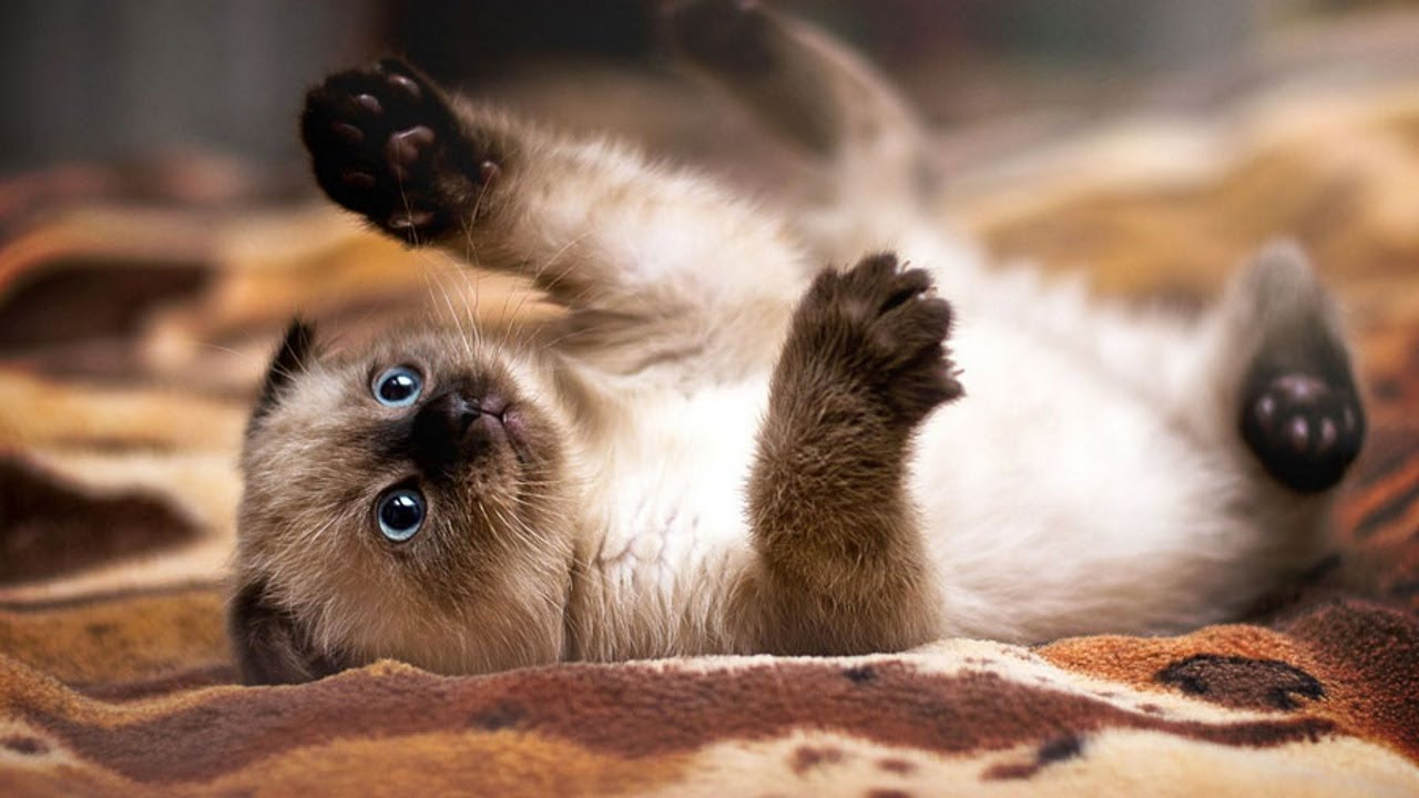 Gato siamês brincando