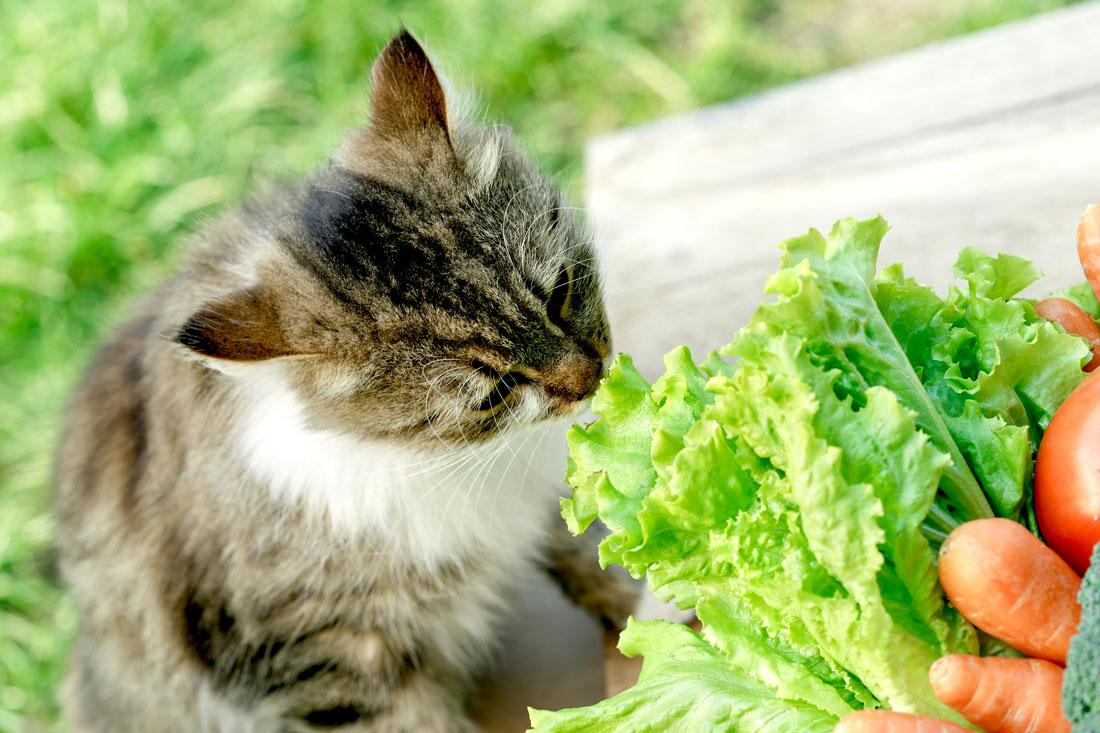 gato cheirando alface